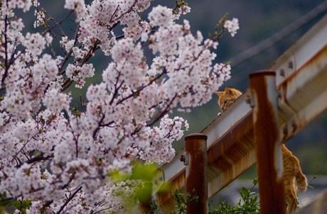 池口正和さんが撮影した桜と猫の写真(2007年)©「4色の猫」