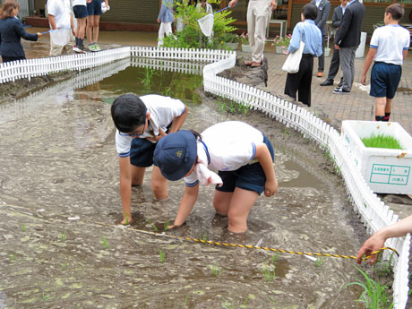 「ひとめぼれ」の苗を植える神南小学校の児童たち