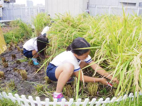 稲刈りを体験した児童たち