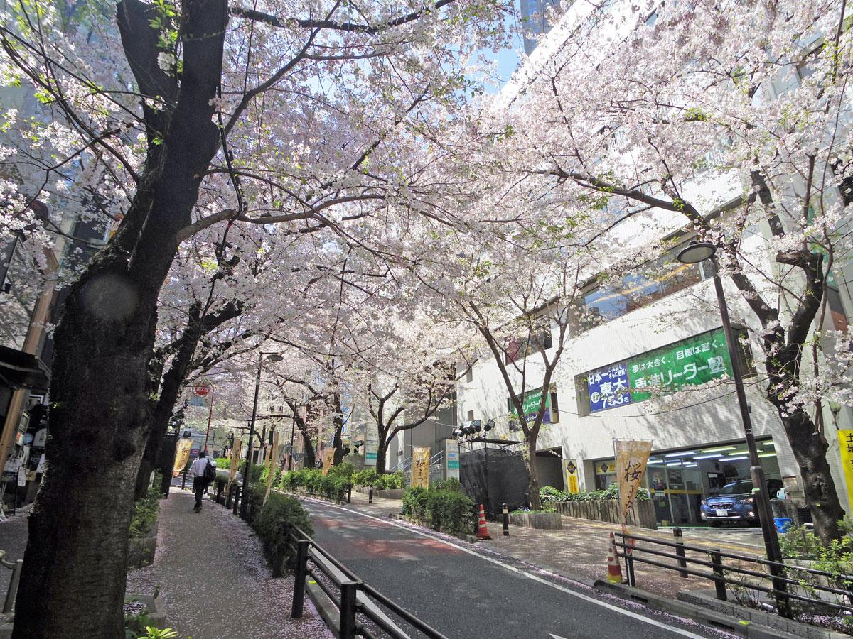 桜が見ごろを迎えているさくら坂
