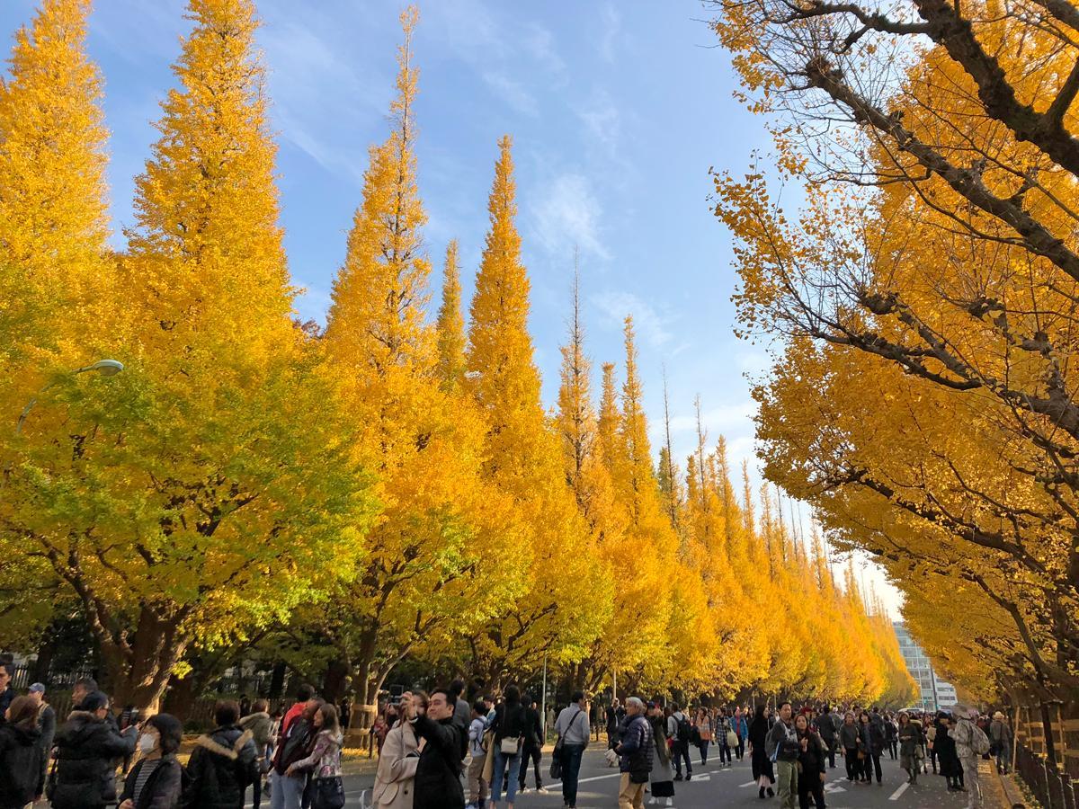 黄葉が見頃を迎えている外苑前のイチョウ並木