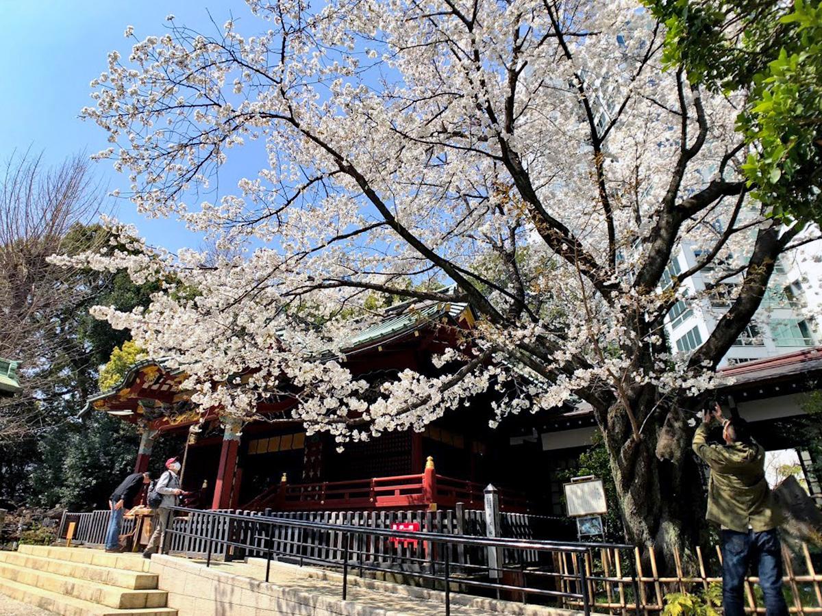 満開を迎えている金王八幡宮の「金王桜」
