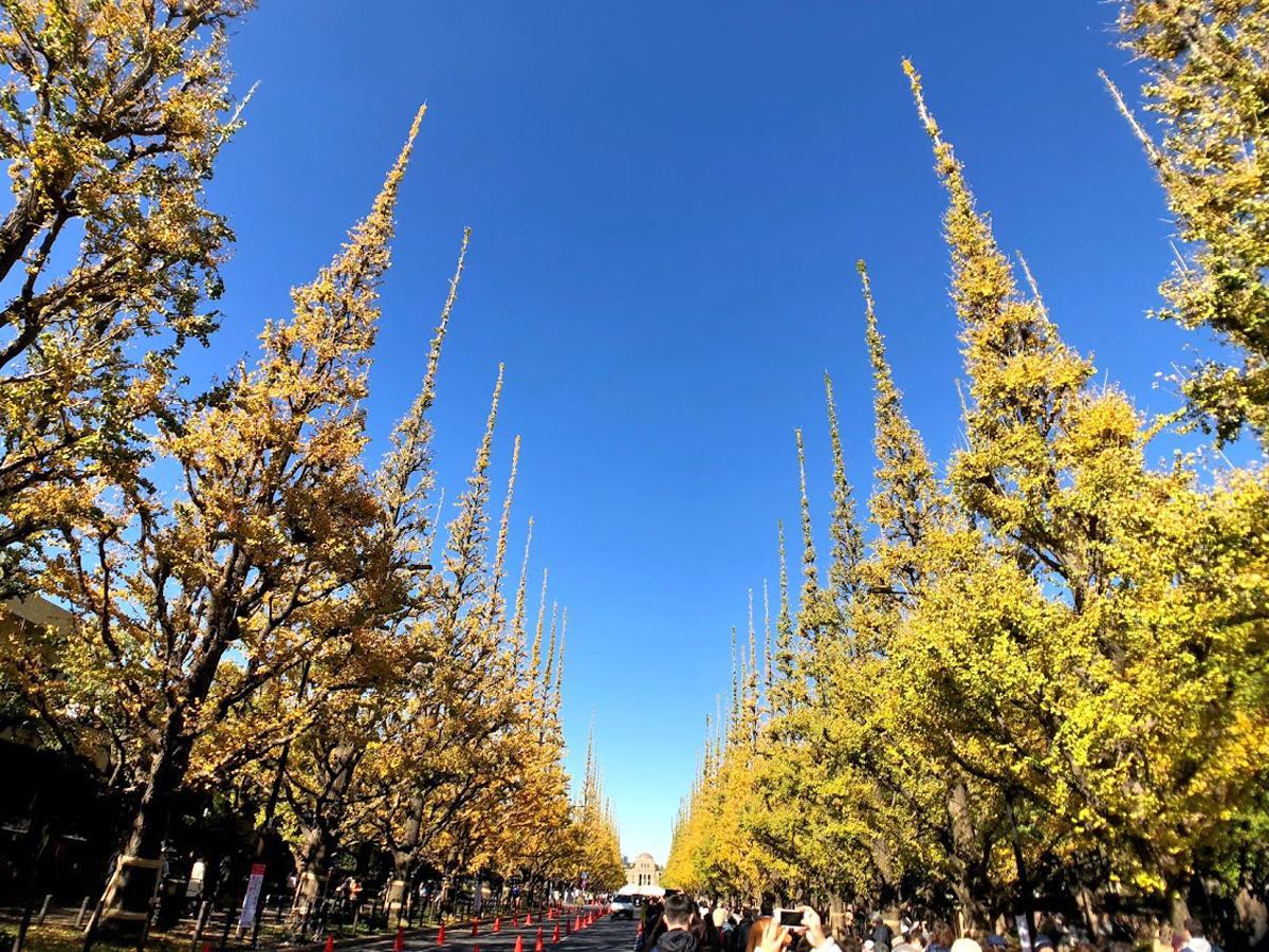 黄葉に染まった神宮外苑イチョウ並木