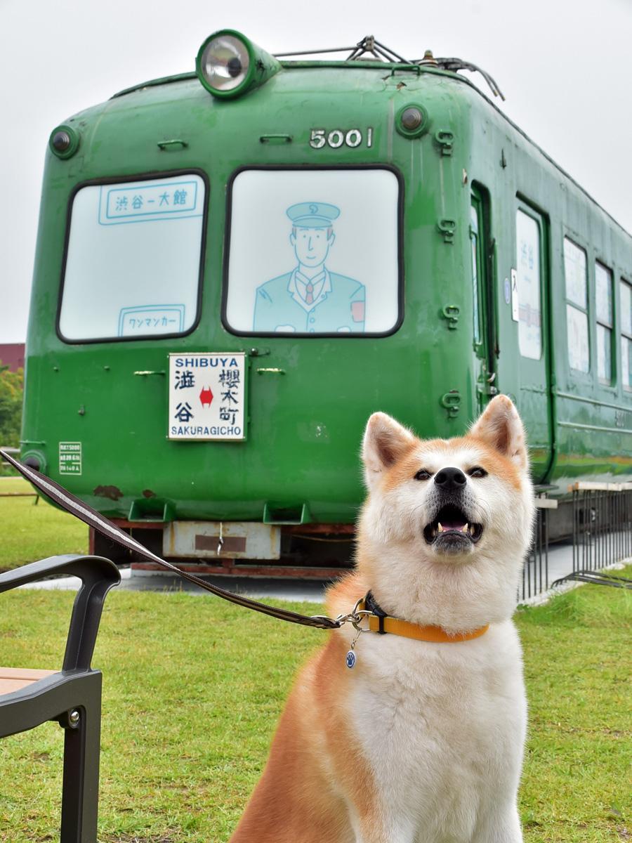 到着した「青ガエル」を出迎える秋田犬「勝大(しょうだい)」。勝大は、ザキトワ選手に贈られた「マサル」の兄弟(写真提供=渋谷区・大館市)