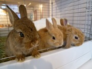 下北沢にウサギカフェ「おひさま」-店内にウサギ40羽、販売も