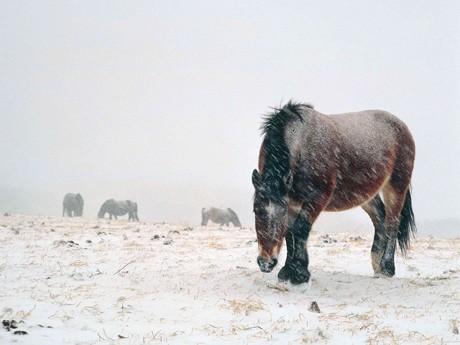 青森県下北郡に生息する天然記念物の寒立馬(かんだちめ)
