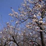 羽根木公園で「せたがや梅まつり」 426本の梅が開花