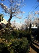下北沢の緑道で桜が見頃  花見客らでにぎわう