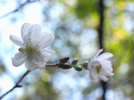 秋に咲く十月桜。その花びらは、ソメイヨシノより小ぶり。