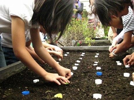 小さな品川カブの種が散らばらないよう、ペットボトルのフタを使って15cm間隔で植えていく。