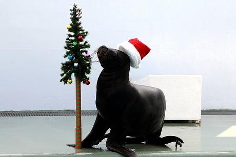 アシカ科・オタリアのメス「クッキー」によるクリスマスアシカショー