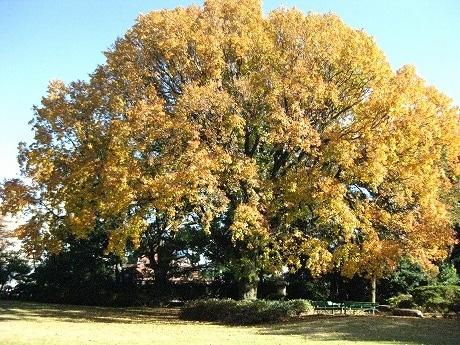 楓の木は緑から金色、やがて赤色に染まる。