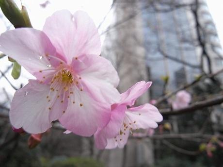 グランドプリンスホテル高輪の日本庭園山門付近で、1月に開花した河津桜。ソメイヨシノよりも桃色が濃いのが特徴。