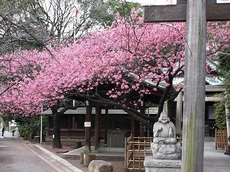 荏原神社の境内で満開の寒緋桜。例年通り鮮やかなピンク色の花を咲かせている。
