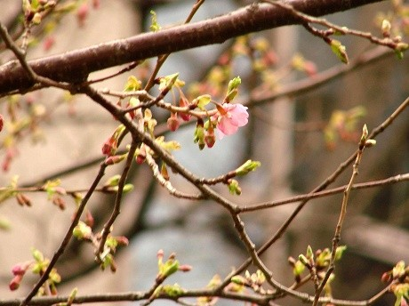 河津桜は、オオシマザクラとカンヒザクラの自然交配種であると推定されている日本の桜。写真提供=グランドプリンスホテル高輪