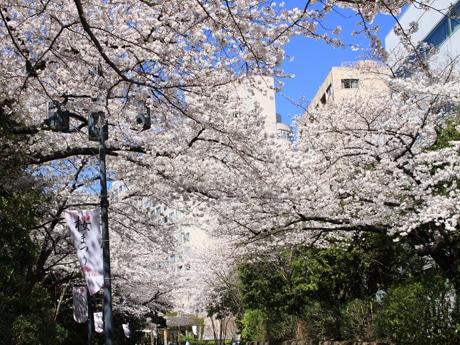 満開となったさくら坂の桜
