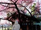 北品川・荏原神社のカンヒザクラ満開に 2月末まで見頃