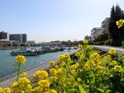 勝島運河沿い「しながわ花海道」で菜の花が開花 満開は3月中旬ごろに