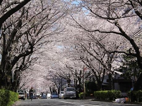 かむろ坂の桜並木/写真提供:かむろ坂さくらまつり実行委員会