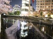 五反田・目黒川に花いかだ出現 桜吹雪舞い散る