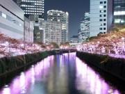 目黒川沿いでイルミネーション「冬の桜」開花 過去最多、42万3980個のLED電球使う