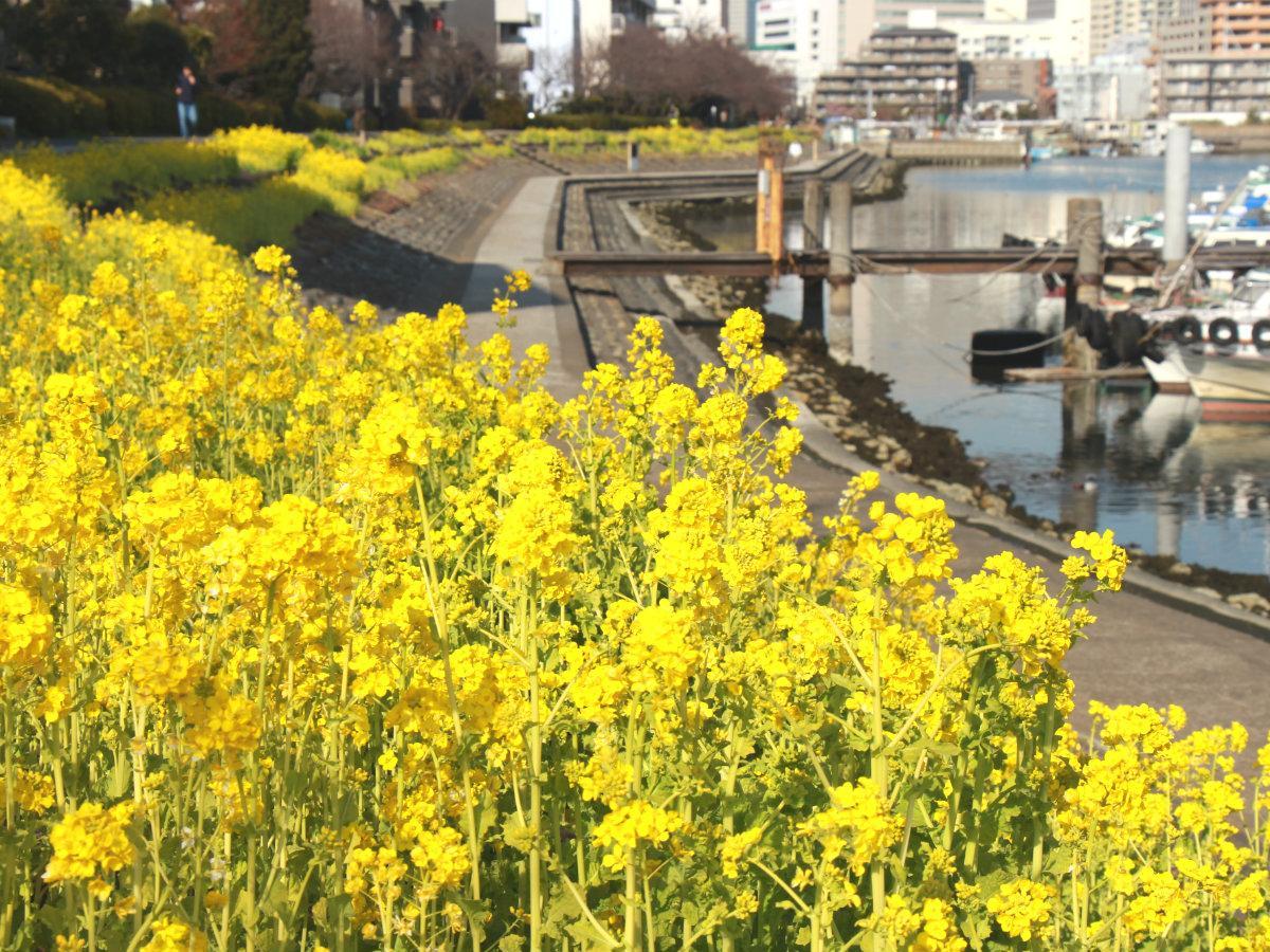 「しながわ花海道」の菜の花