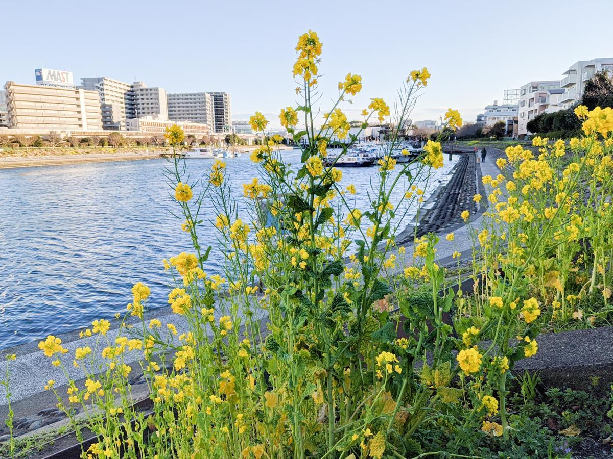 しながわ花海道の菜の花