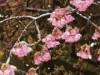 新馬場・荏原神社のカンヒザクラが満開直前 雪にも負けず、見頃は2月中旬まで