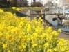 勝島運河沿い「しながわ花海道」で菜の花が開花 3月には水上イベントも