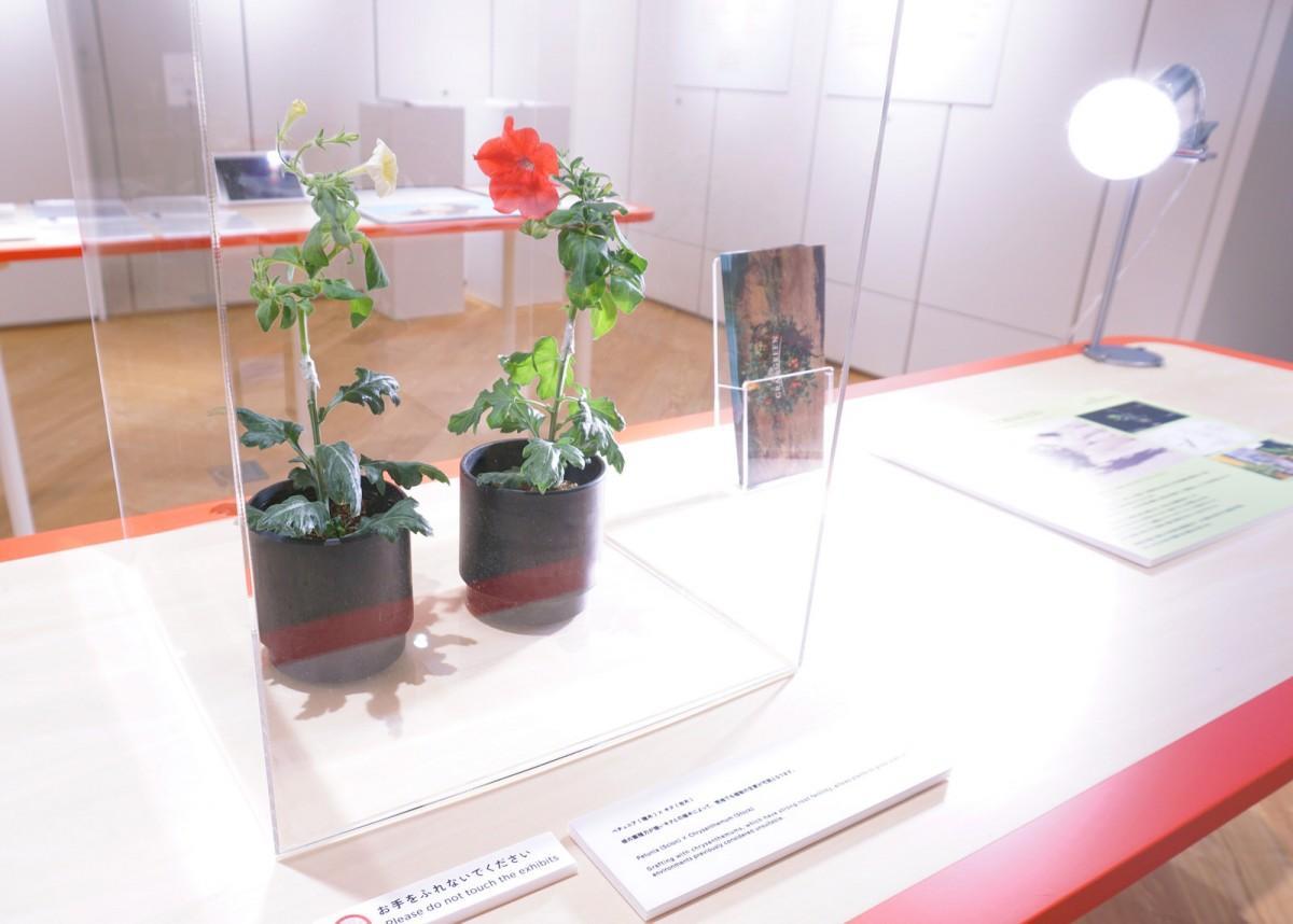 グランドグリーンの接ぎ木技術を使ったキクの根とペチュニアの花を持つ植物