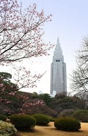 新宿御苑でカンザクラやカワヅザクラ-平年より早い開花
