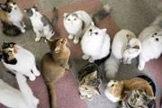 新宿3丁目に朝まで営業の「猫カフェ」-マンチカン「チョビ♪ちゃん」人気に