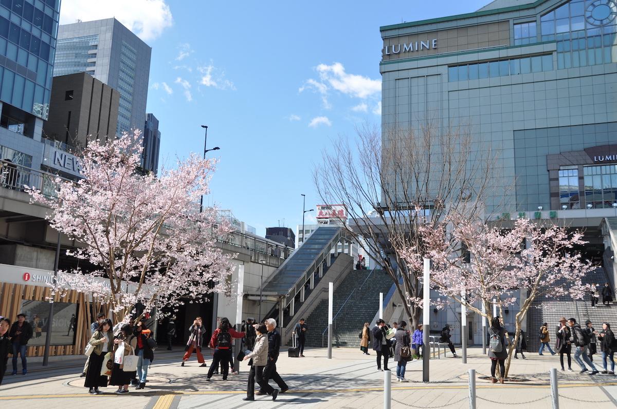 新宿駅東南口駅前広場に移植された「タカトオコヒガンザクラ」(写真は過去の様子)