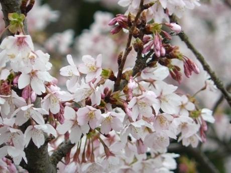 見ごろを迎えた「玉縄桜」