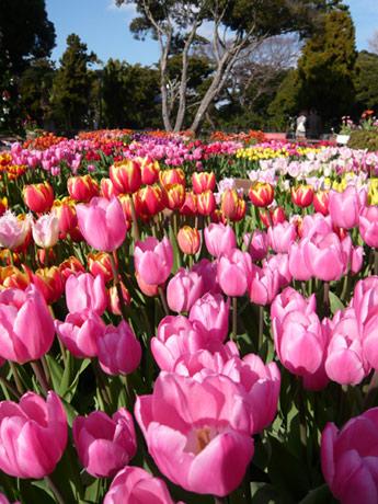 江ノ島展望灯台に、春を先取りするような1万5,000本の「真冬のチューリップ」が色鮮やかに開花