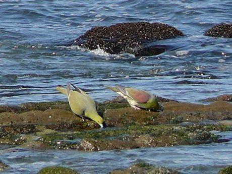 照ヶ崎海岸で海水を飲むアオバト(こまたん撮影、大磯町提供)