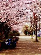 鎌倉で「七里桜プロジェクト」イベント第1弾 おでん食べて桜並木守る