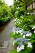 鎌倉でアジサイと美術館巡り 小道歩き美術館へ、アジサイ画観賞も