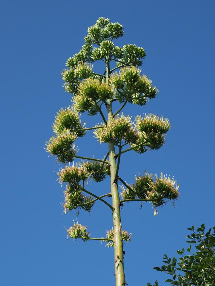 まもなく満開を迎えるリュウゼツラン。「開花は50年に1度ともいわれている貴重な花を見ようと見学者も増えている」という。