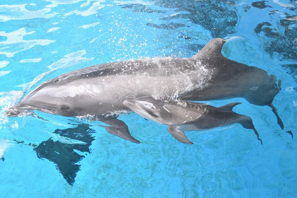 母親「シリアス」(奥)と一緒に元気に泳ぐ赤ちゃんイルカ(手前)。4月22日撮影