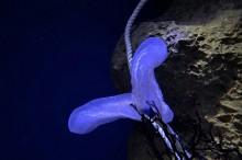 新江ノ島水族館で相模湾産の「コトクラゲ」展示開始 79年ぶりに再発見