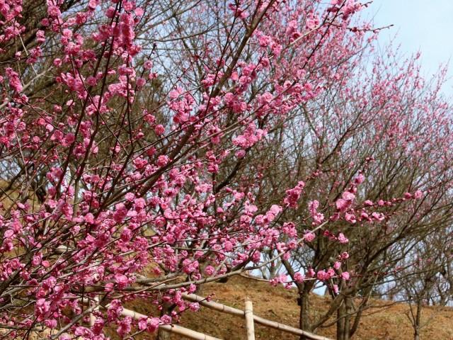 色づき始めた梅の花