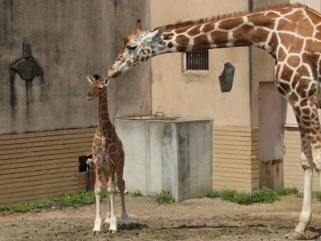 母親・サクラとキリンの赤ちゃん