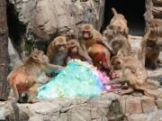 徳山動物園のアカゲザルに特大かき氷 来園者からも「うらやましい」の声