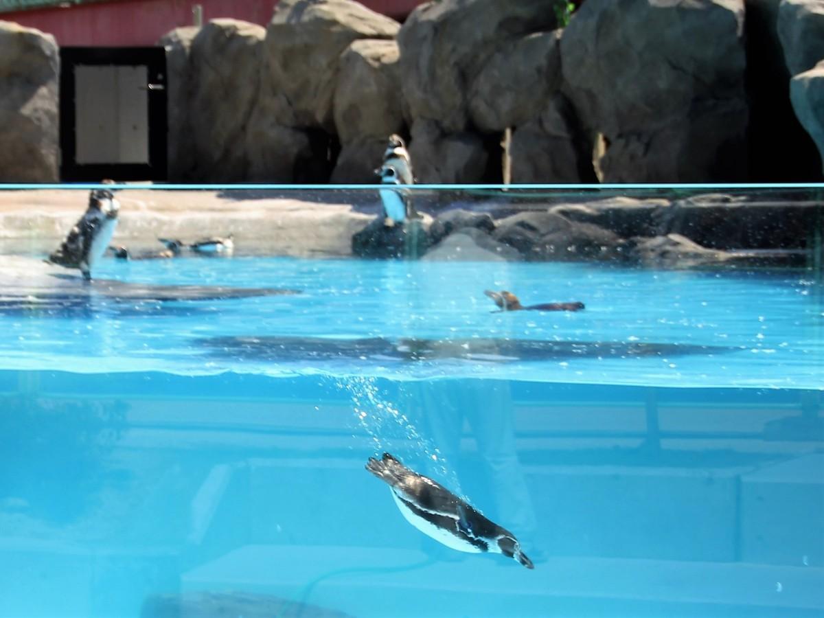 アクリル越しに観察できるペンギンプール