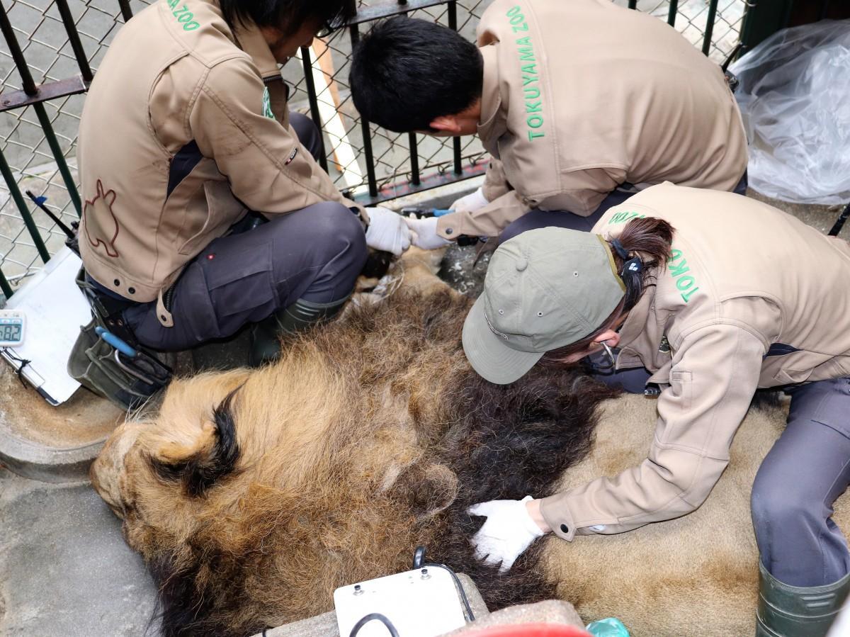 ライオンの健康診断をする獣医師たち