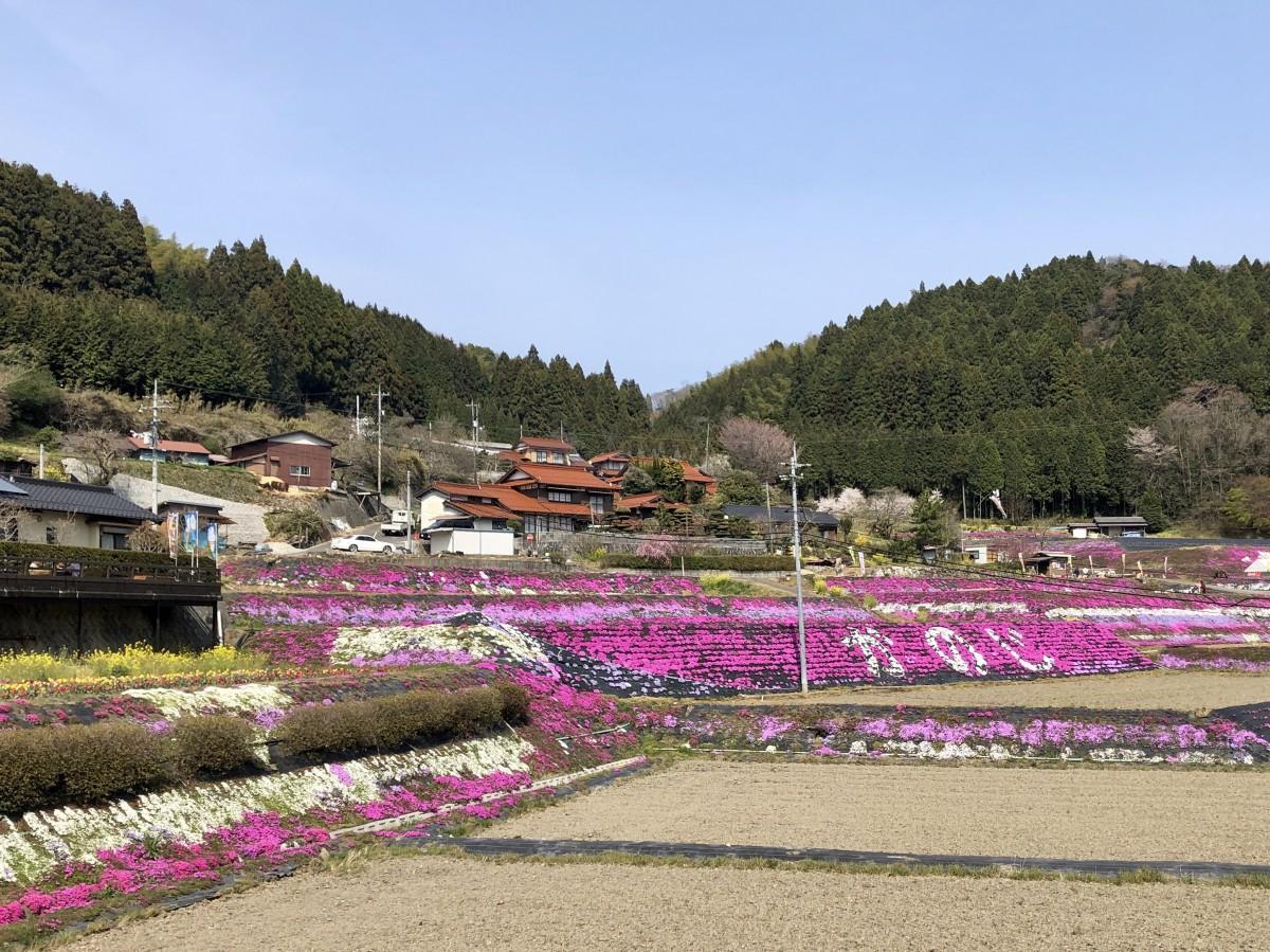 棚田の斜面、約1万平方メートルの敷地に植えた約10万株のシバザクラは現在、4分咲き。
