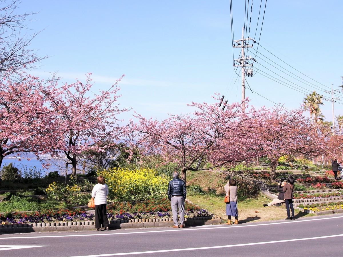 満開の河津桜を楽しむ人々
