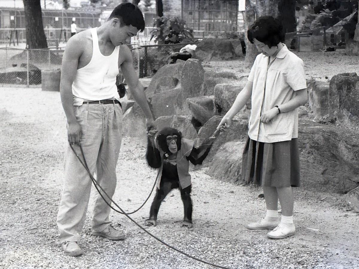 飼育員と園内を散歩するチンパンジー(1964(昭和39)年撮影)