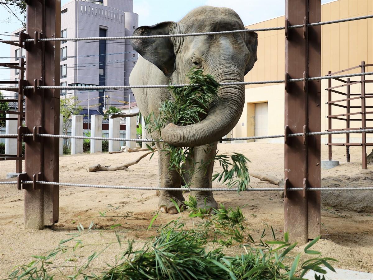 おいしそうに竹を食べるスリランカゾウのナマリー